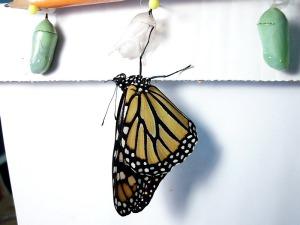 Monarch18Imago01-32