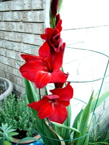 'Black Walnut' gladiolus